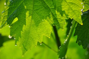 vine leaves with dew drops