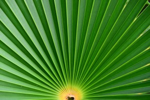 palm frond in fan shape