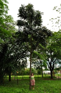 Beatrice & Brazilian mahogany tree