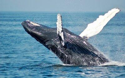 Quattro cose da imparare dalle balene