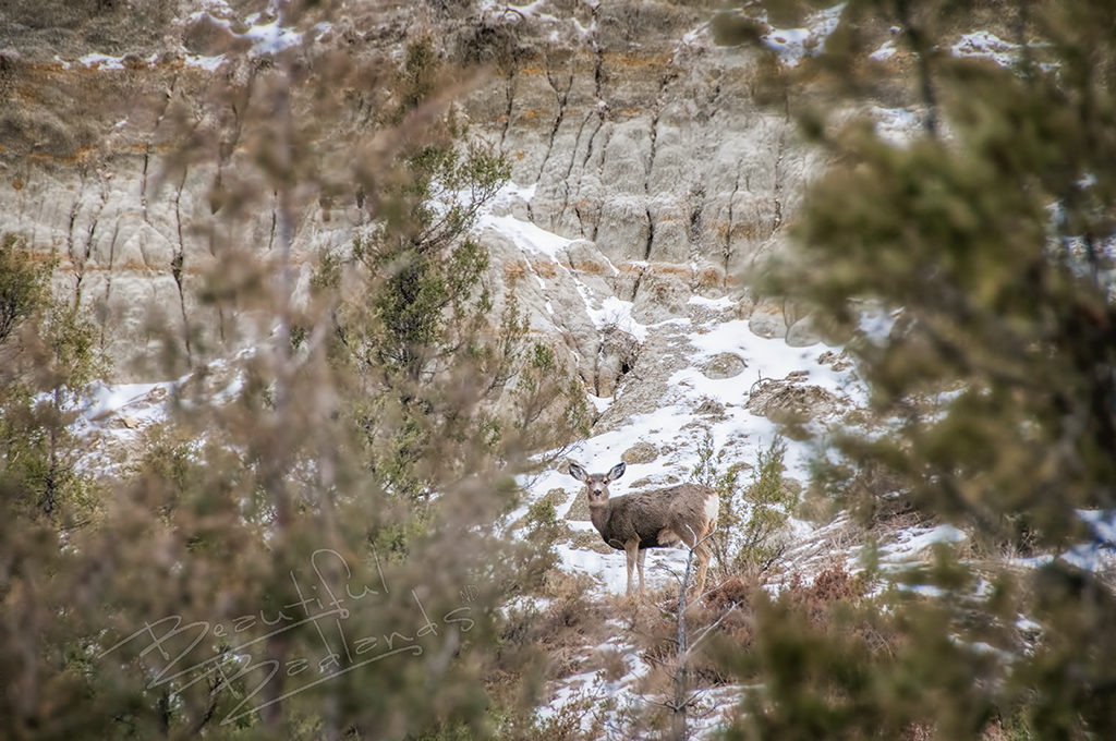 A mule deer in the brush against a badlands hillside.