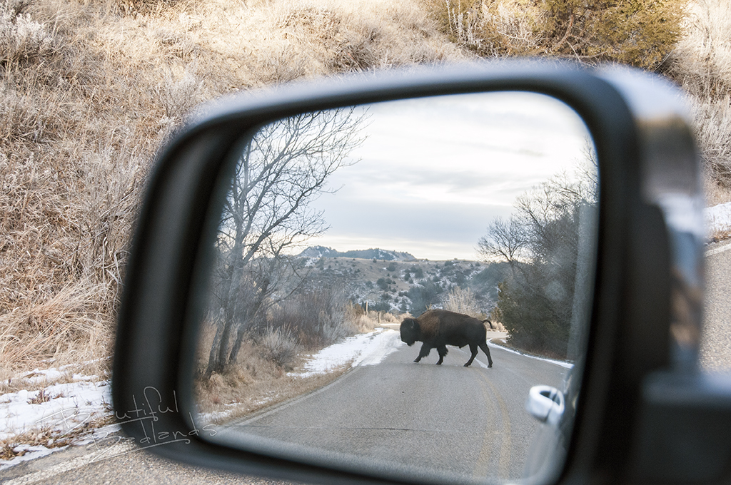 A bison cross the highway in my rear view mirror.