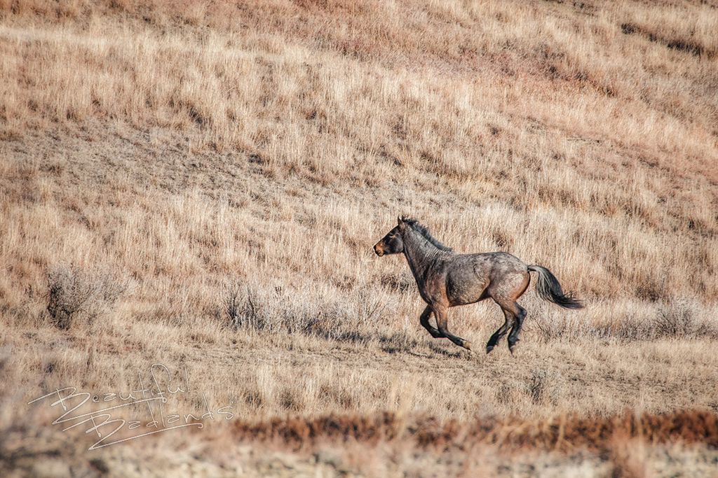 A red feral horse runs across brown grass on a hillside in the Badlands