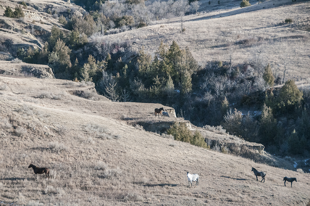A band of feral horses graze peacefully on a warm December day in the South Unit of the Theodore Roosevelt National Park near Medora.