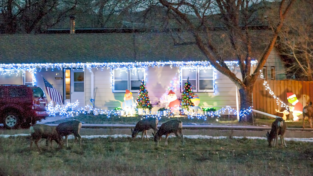 Mule deer in front of Medora Christmas lights.