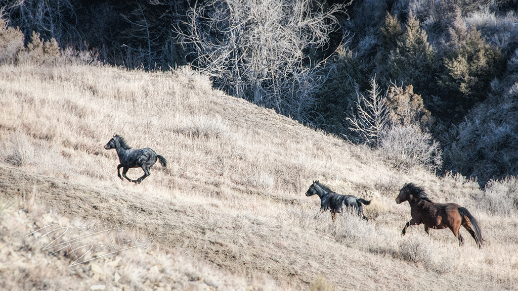 Two feral colts, from the wild horse band of Nokota horses at the South Unit of the Theodore Roosevelt National Park.