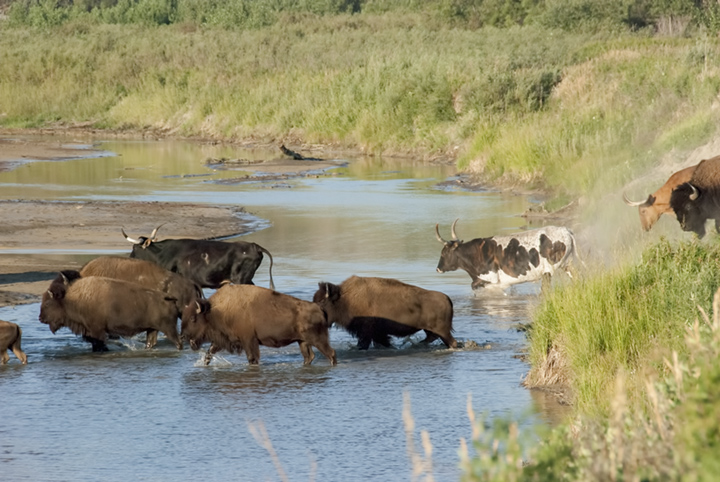 Bison and Longhorns down the riverbank to the Little Missouri River