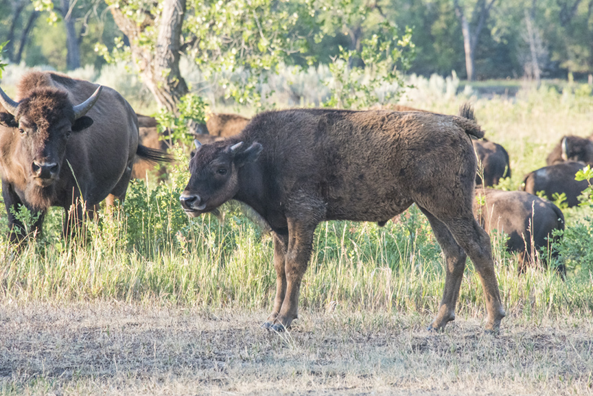 A bison calf stands under the watchful eye of what appears to be its mother.