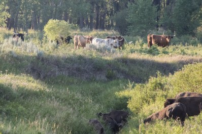 Bison move toward the Little Missouri River where longhorn cattle are already grazing.