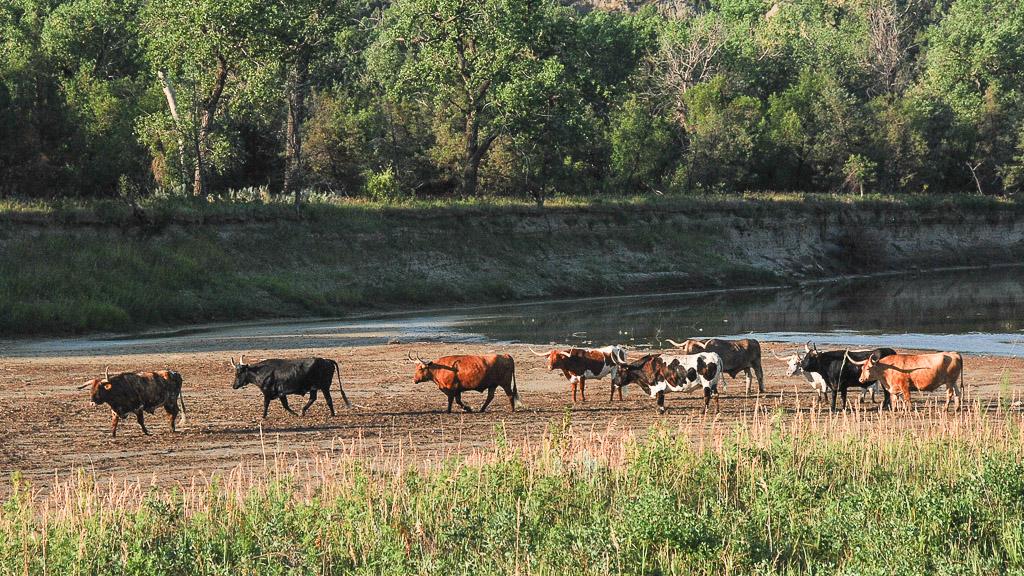 longhorn cattle on a sandbar