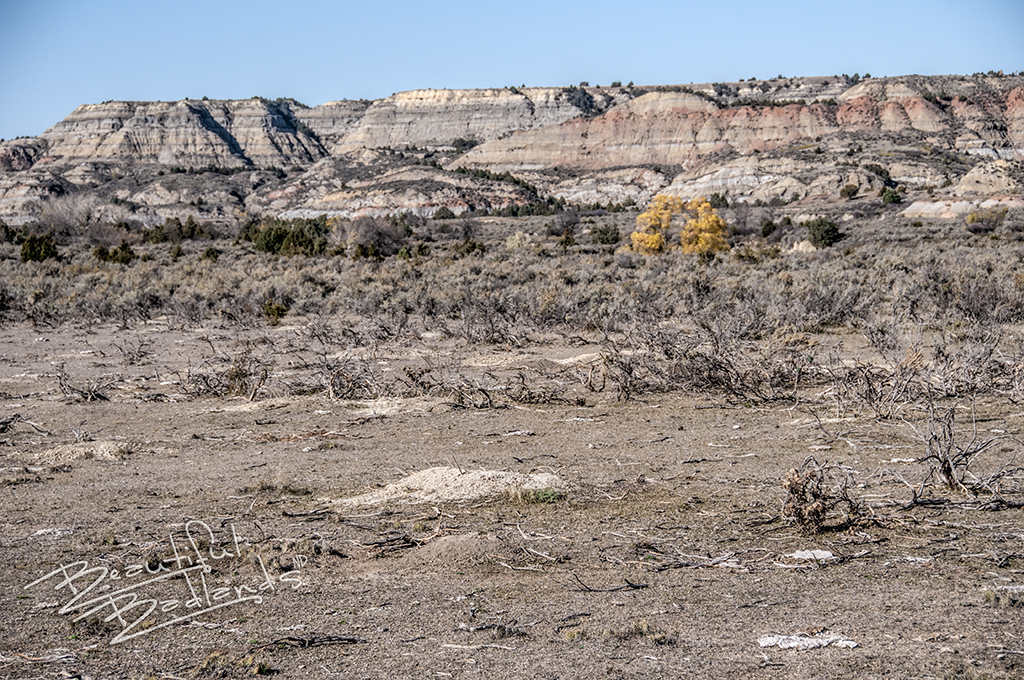 In the foreground, sage brush lays waste from the prairie dogs. They've not yet gotten to the sage in the distance.