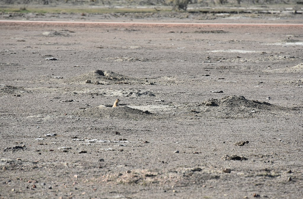 Prairie dog town next to a gravel road.