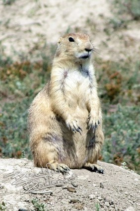 A prairie dog stands up right at its burrow in the rocky badlands.