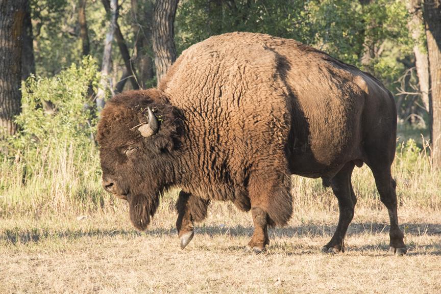 Where the Buffalo (Used to) Roam