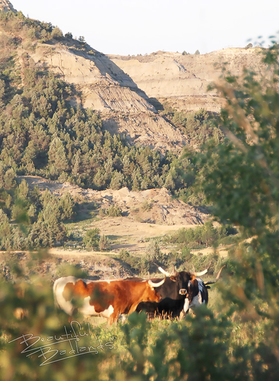 a history of longhorn cattle includes a small herd at the North Unit of the Theodore Roosevelt National Park near Watford City