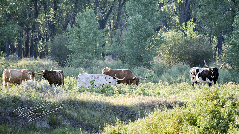 A short history of the Longhorns on the Long X Trail takes visitors to the Little Missouri River where cattle at the Theodore Roosevelt National Park come early in the day to drink.