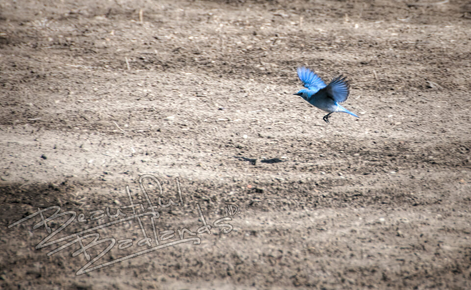 Why bluebirds are so encouraging.