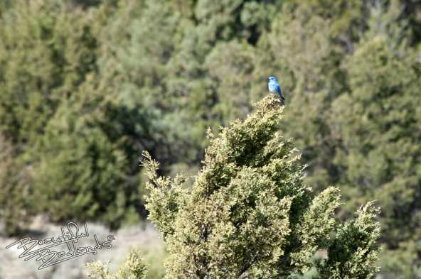 Why bluebirds are so encouraging. snapshot saturday bluebird in evergreen tree