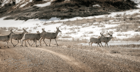Highway 16 Marmarth mule deer