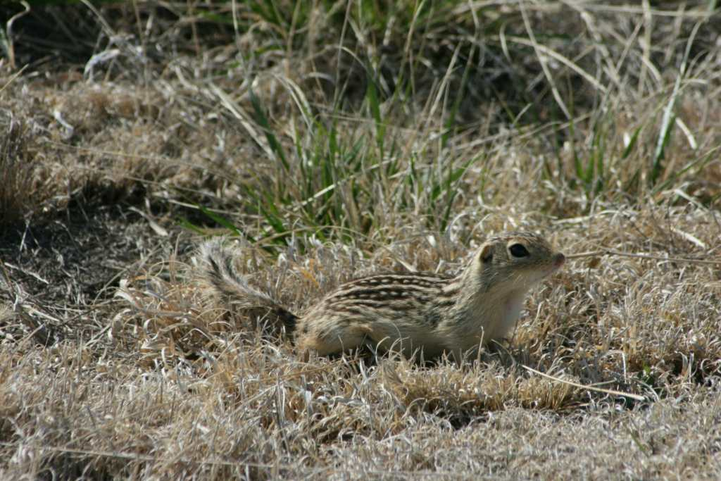 Richardson's ground squirrel at Fort Union
