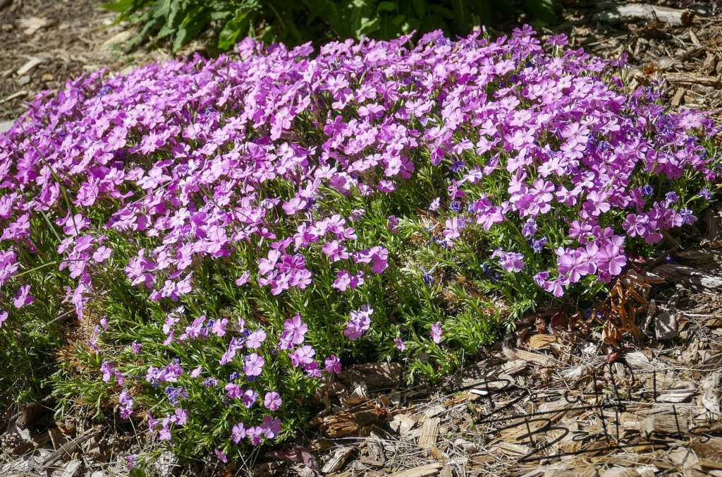 purple flowers Dickinson garden Secret Garden