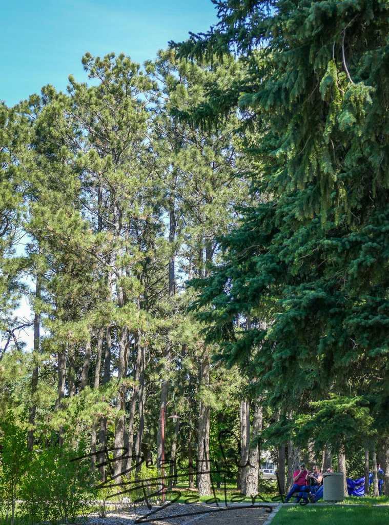 pine trees Dickinson garden North Dakota  Secret Garden