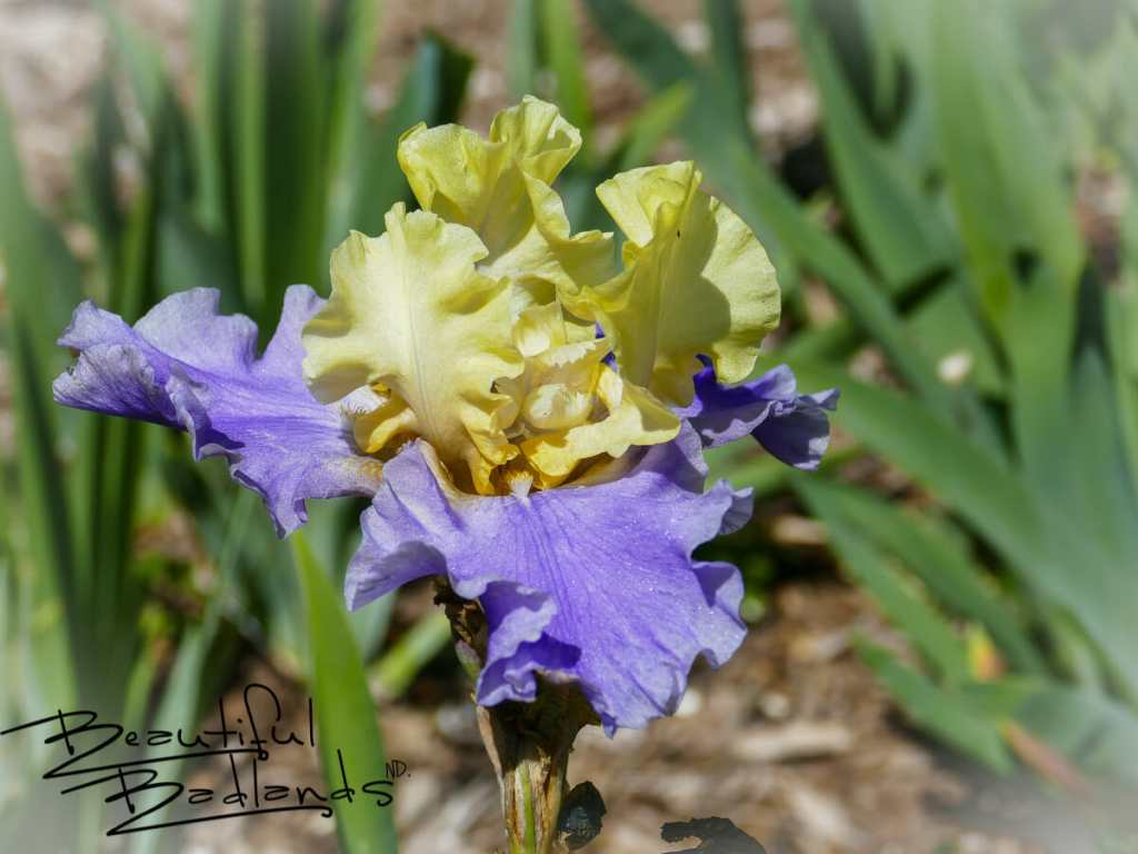 Irises are among the many flowers at the gardens of the NDSU Extension Research Center in Dickinson, North Dakota