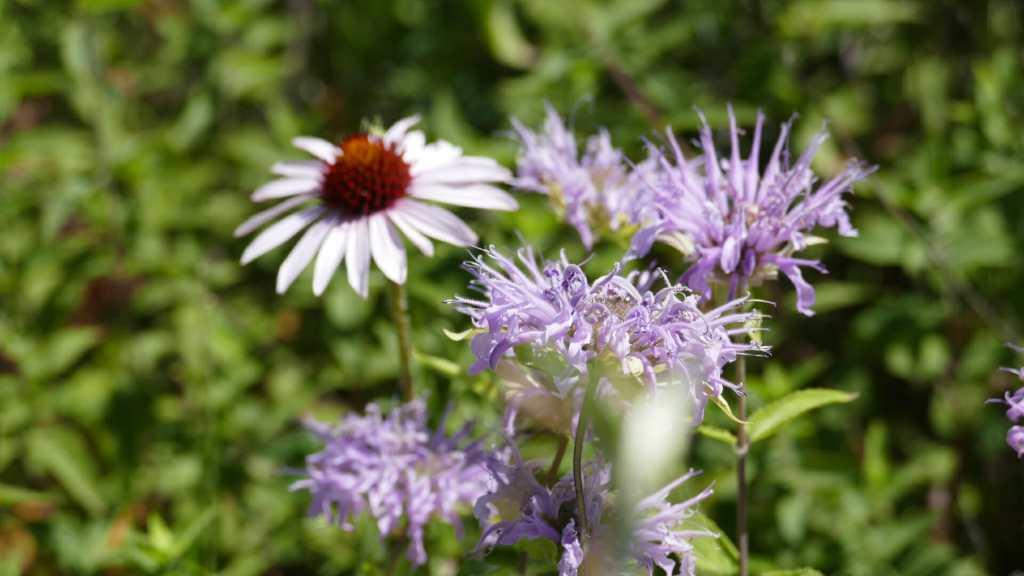 Wild flowers are abundant in the lush green grasslands of western North Dakota.
