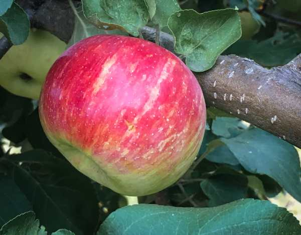 Not all apples are all red!