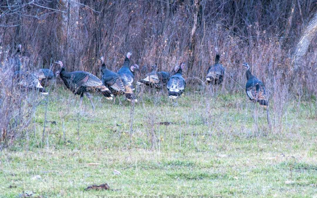 Turkeys in the — Hey! They're not supposed to be in North Dakota