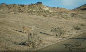 Buck Races Towards the Road in Theodore Roosevelt National Park