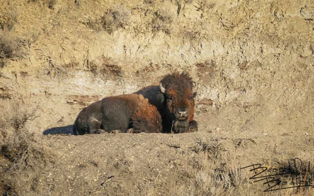 Winter's warm sun put this Bison to sleep! — Saturday Snapshot