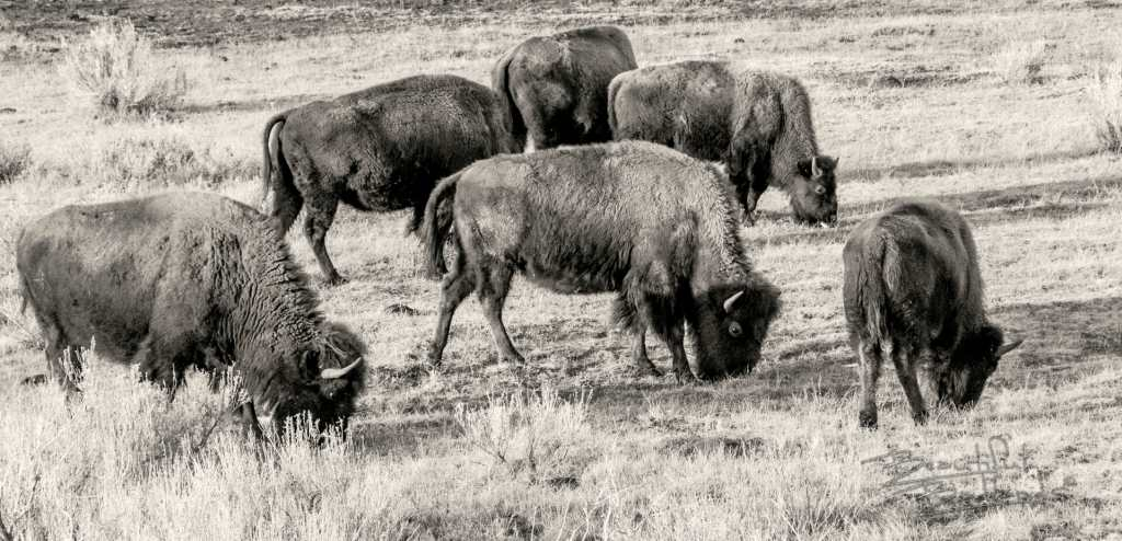 bison graze at the theodore roosevelt national park