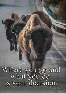 bison coming down the road toward the camera. decide where to go what to do