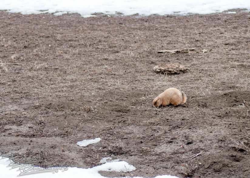 prairie dog south unit