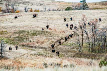 herd of bison in fall