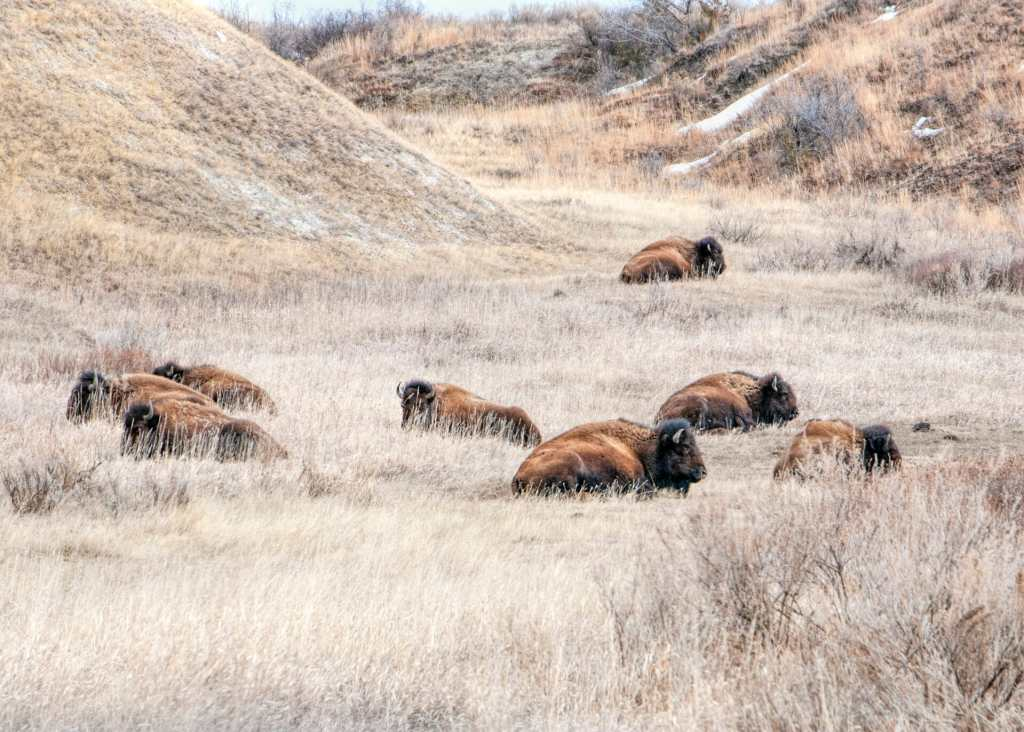 Bison Nap in Spring, Theodore Roosevelt National Park, North Dakota