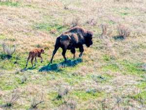 mother bison and calf