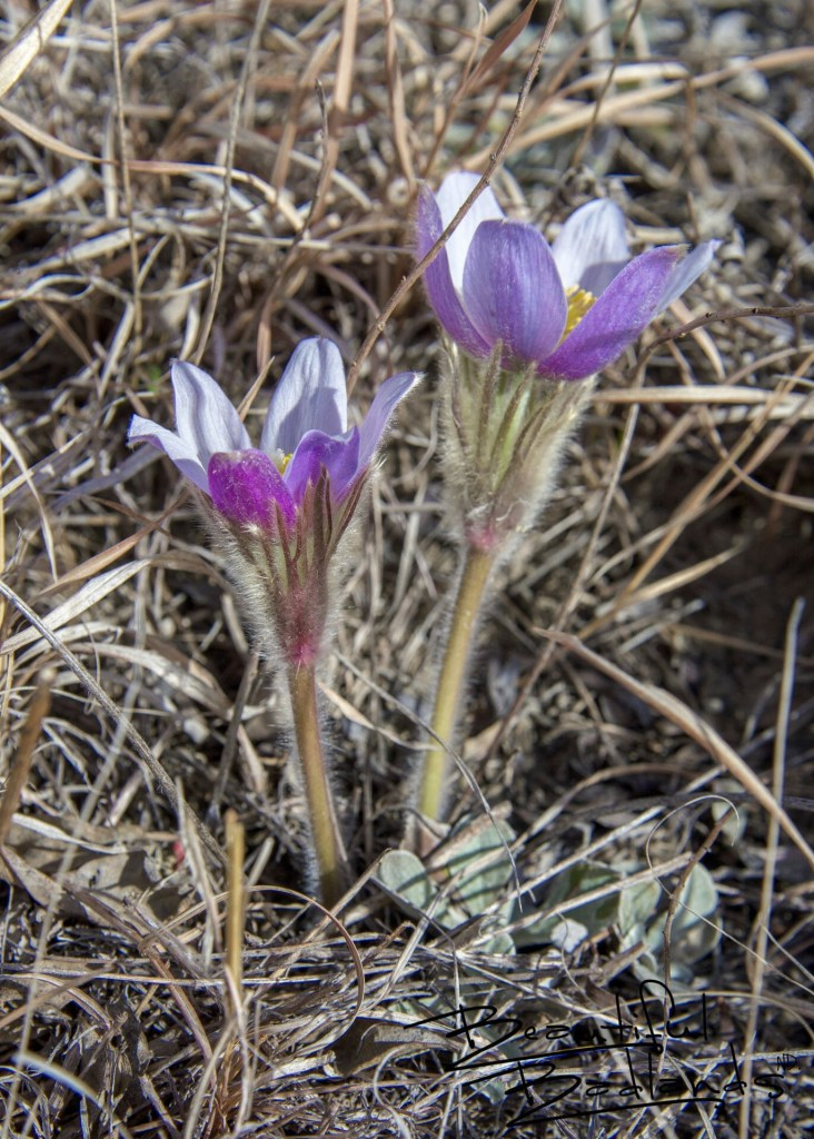 Pasqueflowers Open to the Sun in Western North Dakota