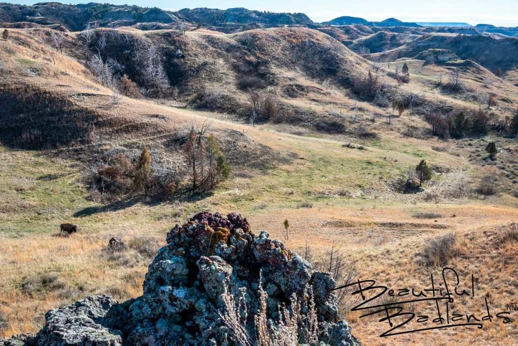 Bison Mom Protecting Her New Calf, Theodore Roosevelt National Park, North Dakota. spiral 2019