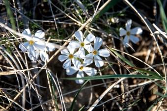 Wild Phlox in Spring in Theodore Roosevelt National Park, North DakotaIdentify park plants here:http://bit.ly/2Jbdjfq