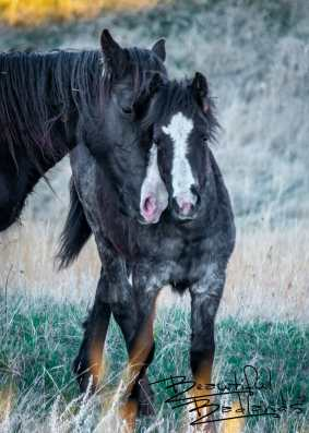 Look Alike Nuzzle! Feral Horses in Theodore Roosevelt National Park, North Dakota
