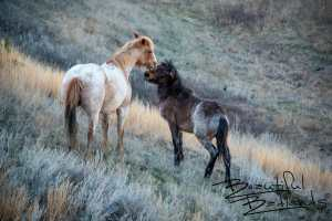 Mother's Love? Wild Horses of Theodore Roosevelt National Park, North Dakota