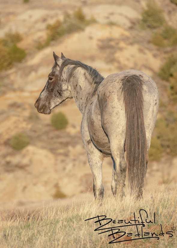 Mighty Wild Stallion of Theodore Roosevelt National Park