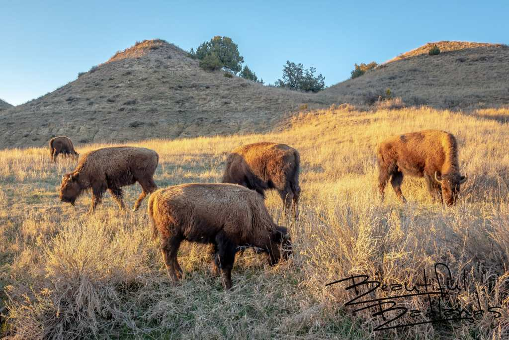 Bison Graze in the Golden Hour in the North Dakota Badlands