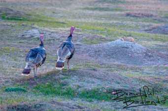 Turkeys Bid Goodnight to the Badlands Prairie Dogs