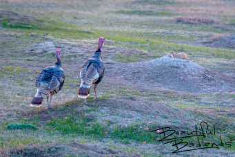 Turkeys Bid Goodnight to the Badlands Prairie Dogs