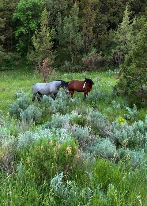 Two Beautiful Wild Horse in the South Unit of Theodore Roosevelt National Park, by Janice Lee
