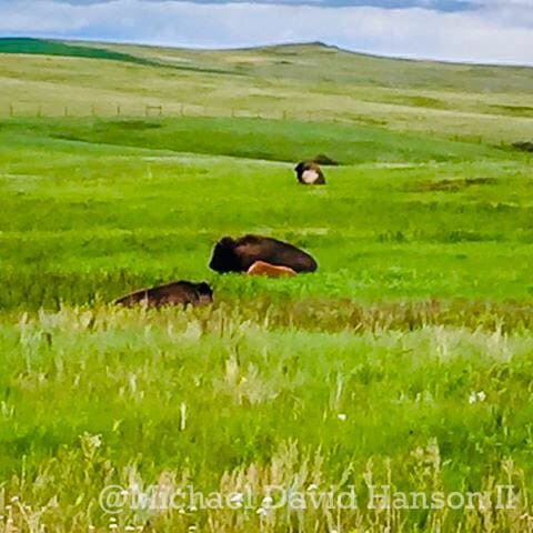Bison Laying in Brilliant Green Grassland of Theodore Roosevelt National Park, North Unit by Michael David Hanson II