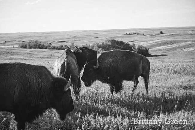 Bison Herd Grazing at Theodore Roosevelt National Park, South Unit. By Brittany Green